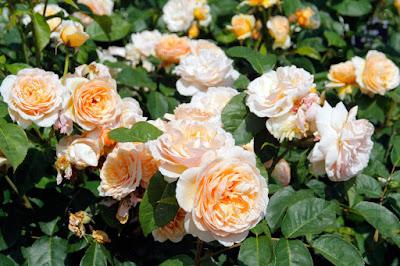 5 Bunga Dengan Harga Termahal Di Dunia