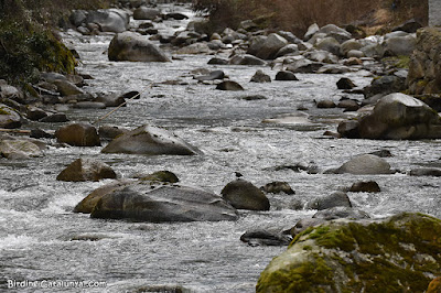 Merla d'aigua al riu Garona
