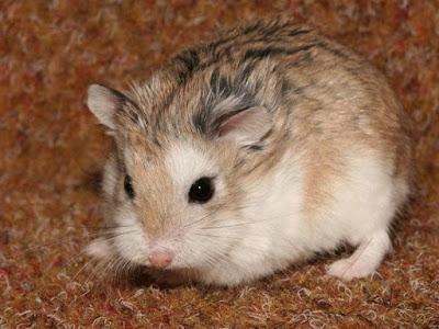 Beberapa Jenis Hamster di Indonesia