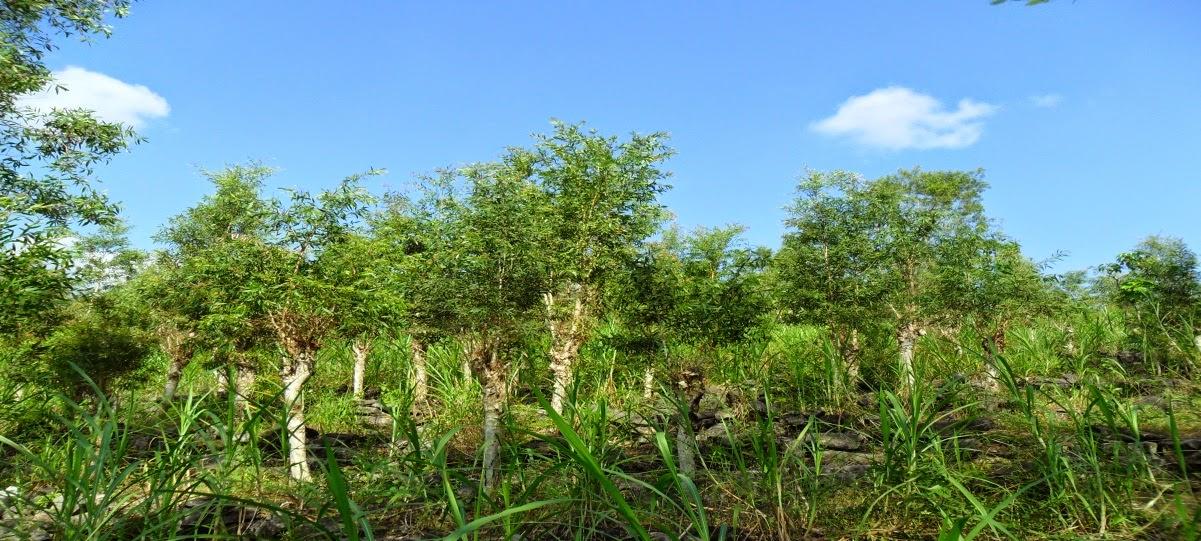 wisata agro Indramayu