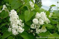 Lilak pospolity- Syringa vulgaris