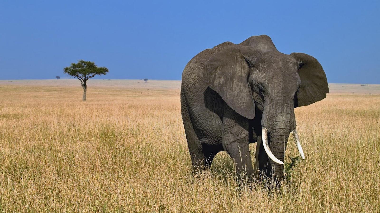 Must see Wallpaper High Quality Elephant - big-elephant-in-the-wild-hd-animal-wallpaper-elephants  Pic_463961.jpg