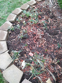 garden plot with destroyed crocus plants