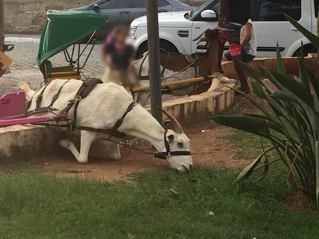 Foto de bode ajoelhado para comer grama causou polêmica das redes sociais em São Lourenço (MG) (Foto: Fernanda Brito/Reprodução/Facebook)