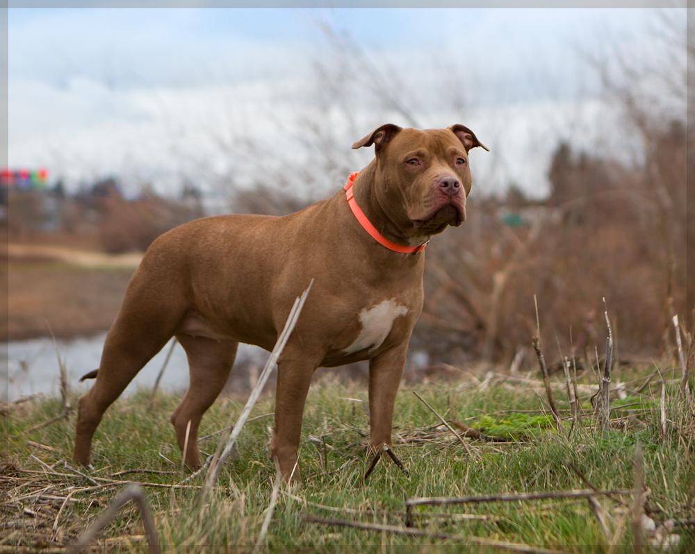 Must see Pitbull Chubby Adorable Dog - pippa1  Photograph_277966  .jpg