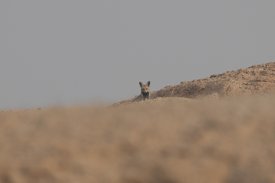 Arabian Red Fox