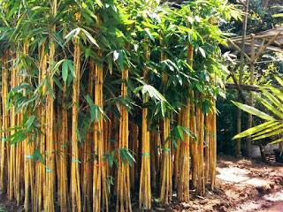 jenis-bambu-kuning.jpg