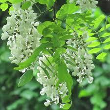 Fleur de robinier