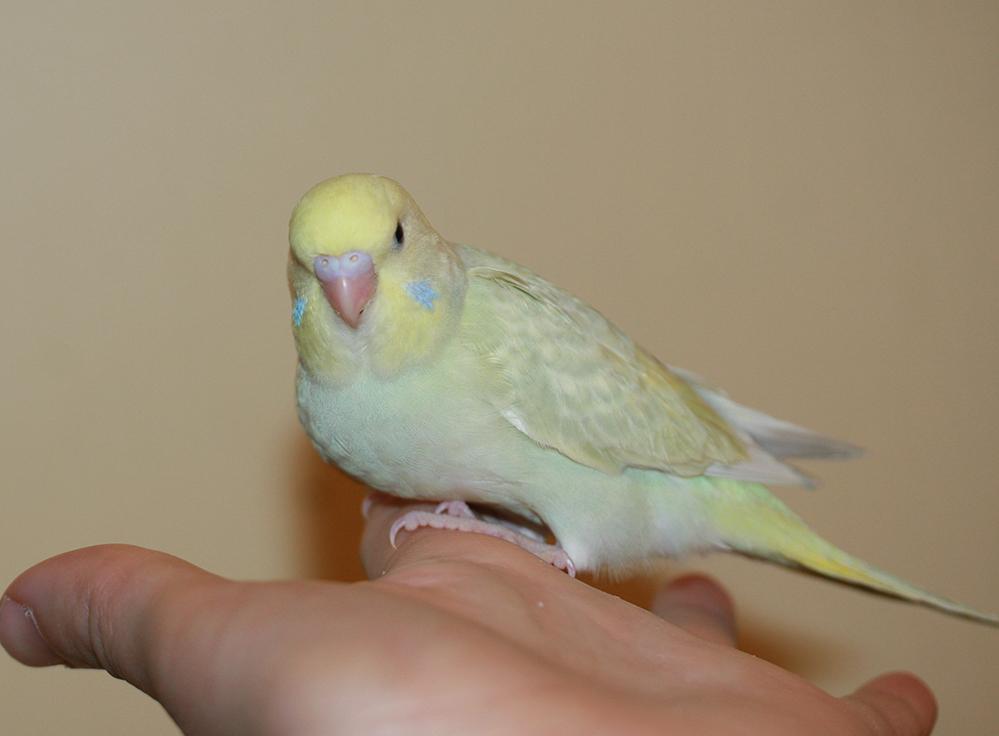 Купить попугая самочку волнистую