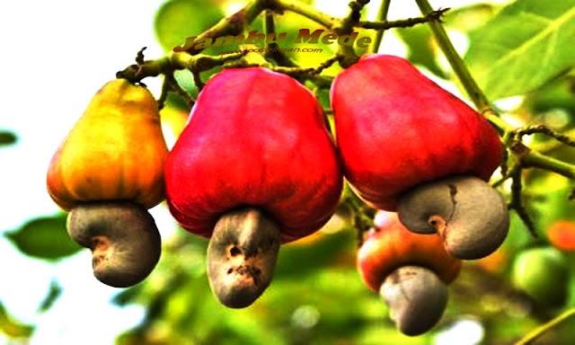 Mengenal Jambu Monyet (Jambu Mede)