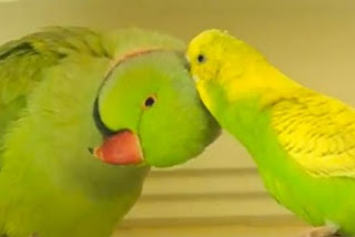Can Lovebirds and Budgies Live Together?