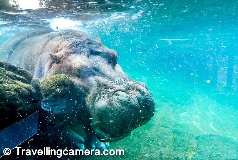 It was fun to see this Hippopotamus swimming in water. I loved the fact that whole water pond had 75% area visible through this glass wall. So it was fun. It's hard to imagine how active Hippos are in water, which is hard to imagine otherwise. I have also created a video but yet to be processed, before sharing.