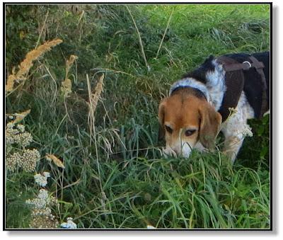 Beagle nimmt Spur auf