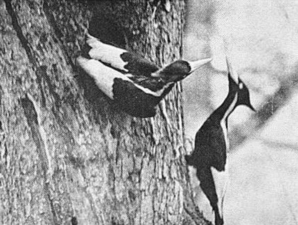 Male and Female At the Nest.  Singer Tract, 1935.