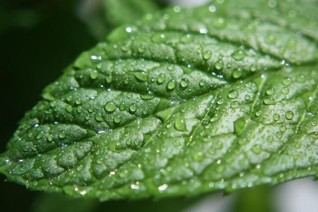 طبيعية لعلاج امراض الجهاز الهضمي Mint.jpg