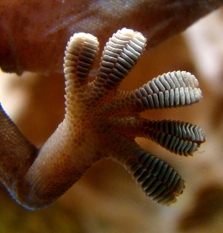 Althouse About Those Gecko Feet