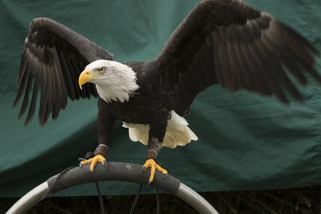 Bald Eagle spreads his wings