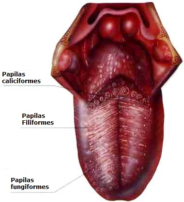Imagen de la lengua humana y sus papilas
