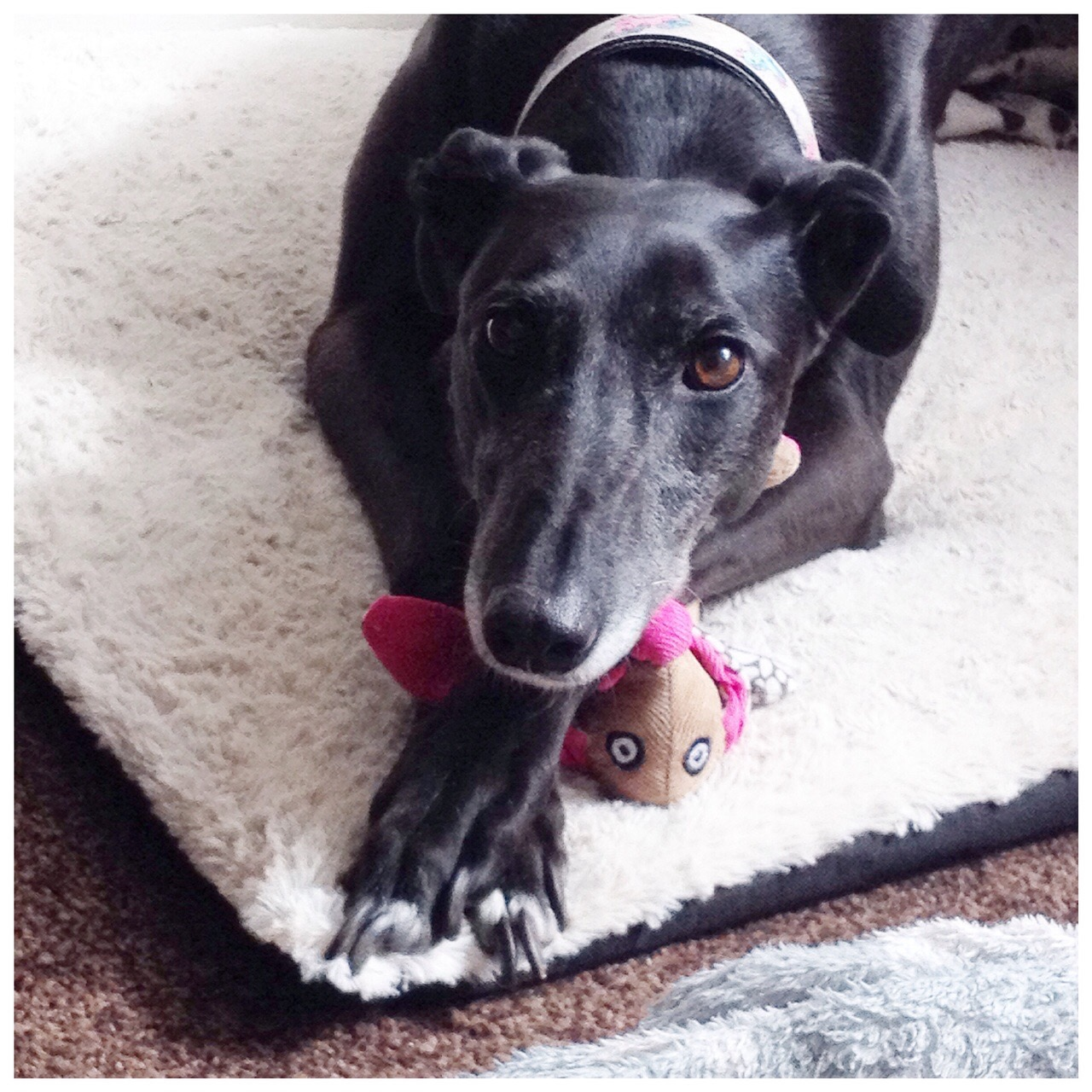 Chloe our black greyhound lying on her bed with a cuddly toy