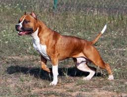 American Staffordshire Terrier dogs - Pets Cute and Docile