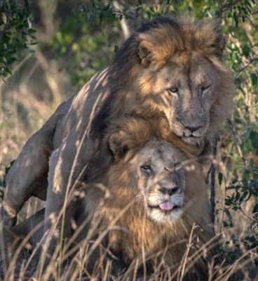 lions having sex kenya