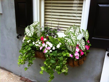 caladium in Charleston flower box