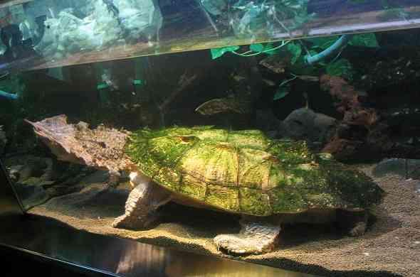 Matamata-turtle-سلحفاة-ماتاماتا