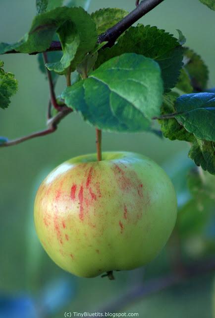 The Apple 'Keltakaneli'