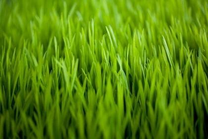 วีทกราส (Wheatgrass) ต้นอ่อนข้าวสาลี @ www.optimallyorganic.com