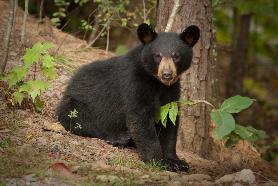 All About Animal Wildlife: Black Bear Facts And Images 2012