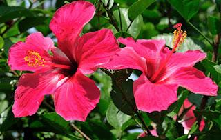 Hibisco (flor)