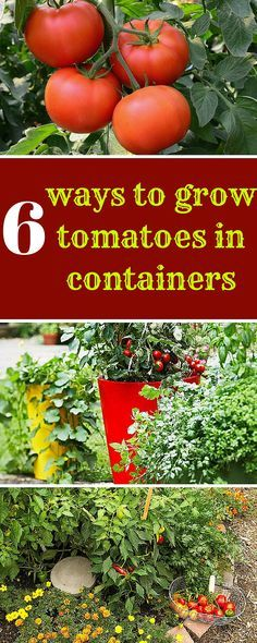 How to Grow Tomato Plant, Growing and Harvesting Fresh ...