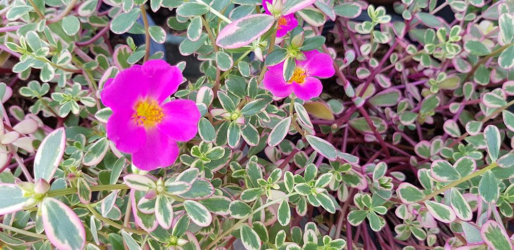 ดอกของต้นคุณสายตื่นสาย ใบด่าง