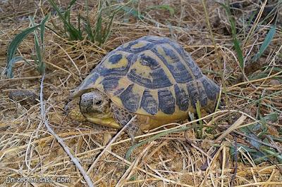 Tortuga mediterránea (Testudo hermanni hermanni)