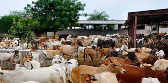 हिंगोनिया गोशाला ने भूख से तड़पकर 4 दिन में 150 गायों की मौत
