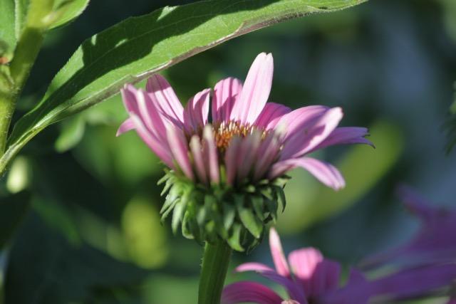 Echinacea Pupurea rose