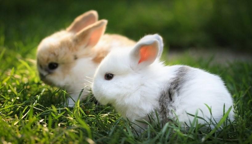 ternak kelinci hewan di rumah cara merawat anak kelinci lucu di rumah