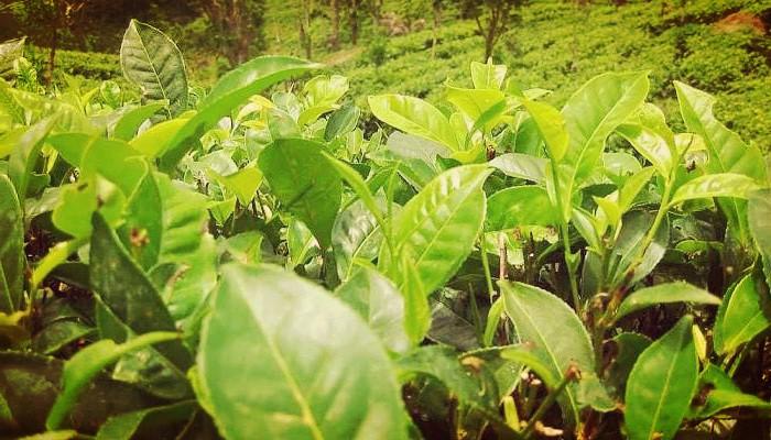 Camellia sinensis (Planta de té)