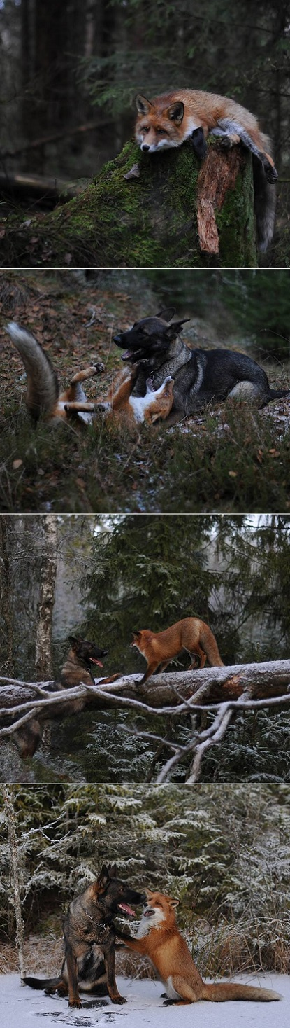 exPress-o: Real-Life Fox and Hound in Norway