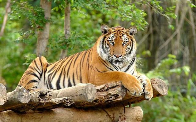 Harimau Sumatera - Indonesia Zamrud Khatulistiwa