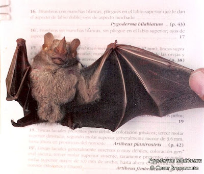 Ipanema broad nosed Bat
