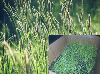 Jenis Rumput Pakan Kelinci Timothy