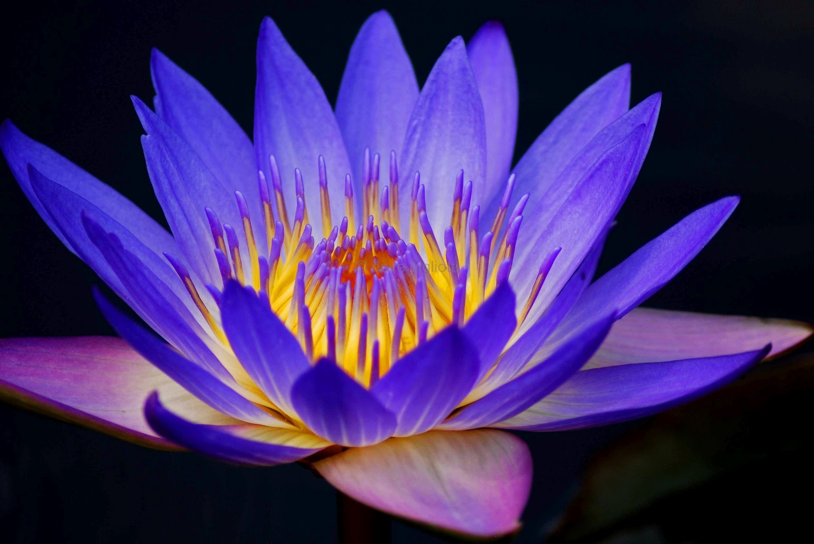 Information About The Water Lily Beautiful Flowers In The World
