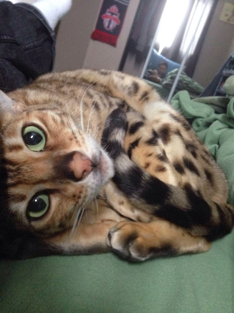 Funny cats - part 90 (40 pics + 10 gifs), cute bengal cat curling up