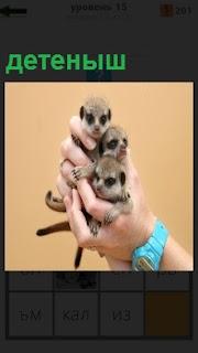 В руках у человека зверьки детеныши маленького размера с черными глазами