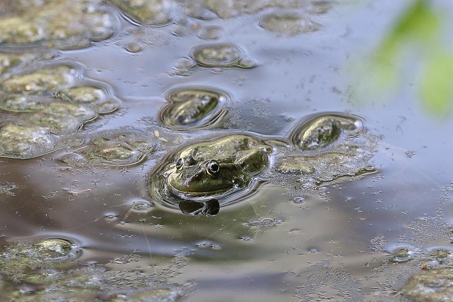 Arabian Skittering Frogs