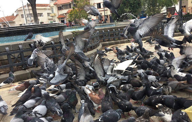 Feeding Frenzy of Pigeons
