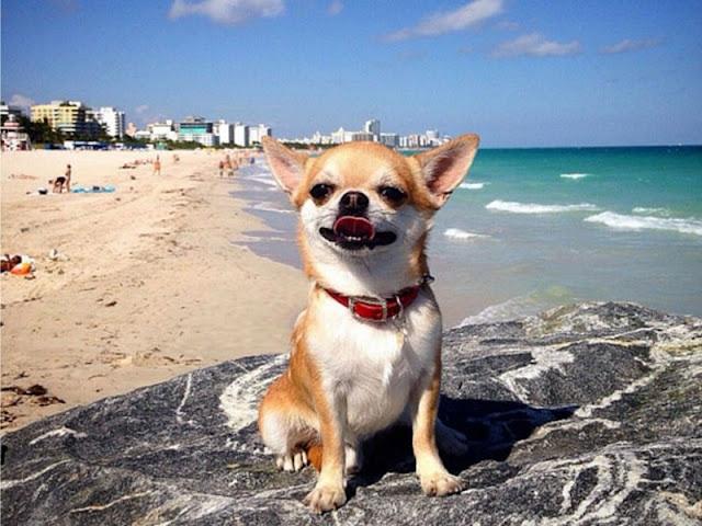 Cachorro em praia de Miami