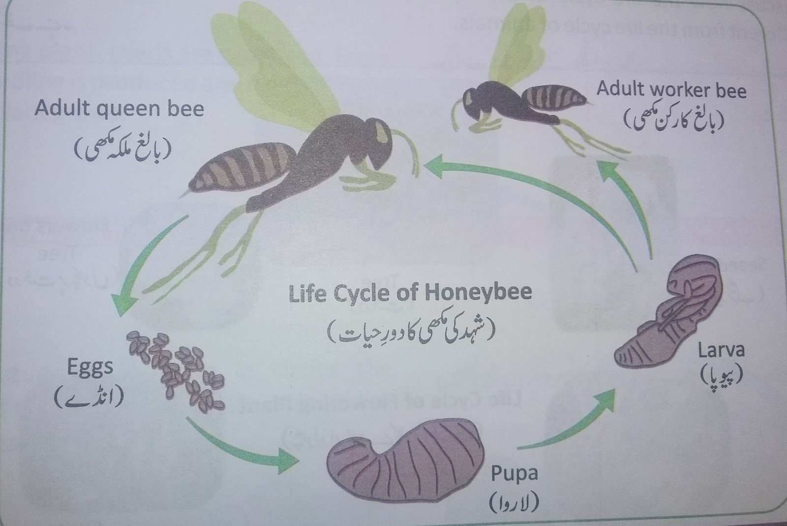 Lesson plan of life cycle of honeybee general science grade iv explain that honeybees live on a wax structure called the comb or sometimes honeycomb the comb is made up of six sided chambers called cells ccuart Images