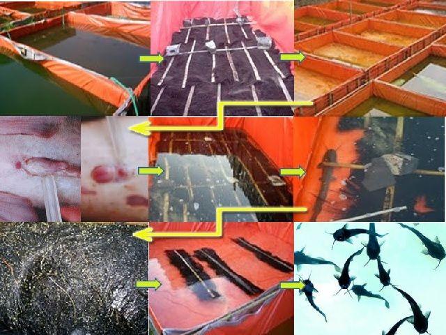 Pembenihan Ikan Lele di Kolam Terpal